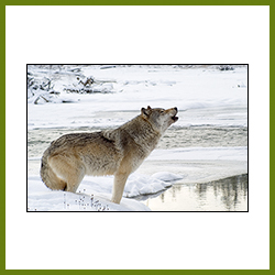 Wildlife Image - Howling Wolf