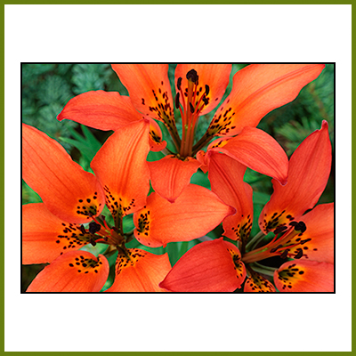 About Us Image - Western Wood Lily