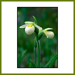 Franklin's Lady's Slipper Orchid