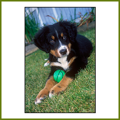 Pets Photo Image - Nootka with ball